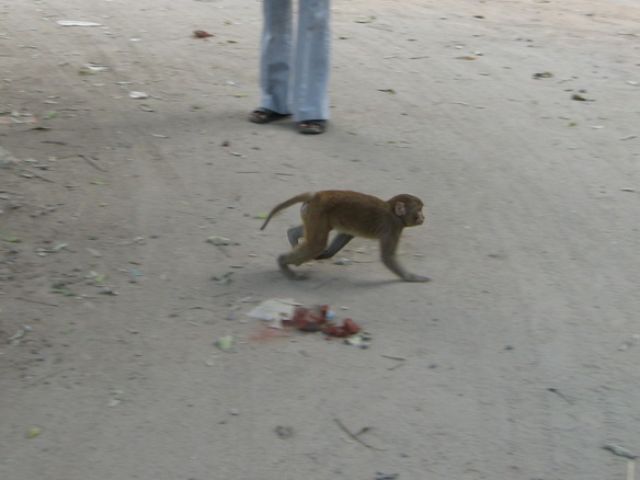 Monkey walking on the ground