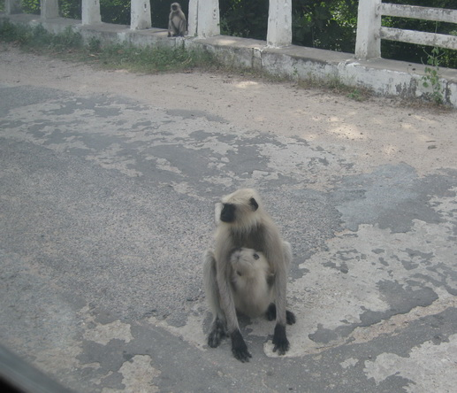 Monkey sitting in the road