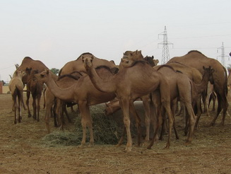 Camels at the research center
