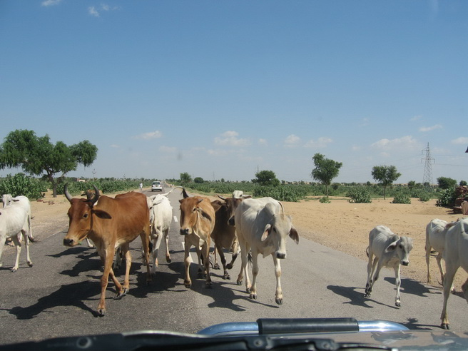 Cows in the road